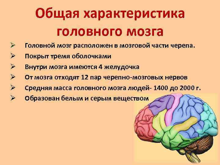 Строение головного мозга человека: отделы, оболочки, функции