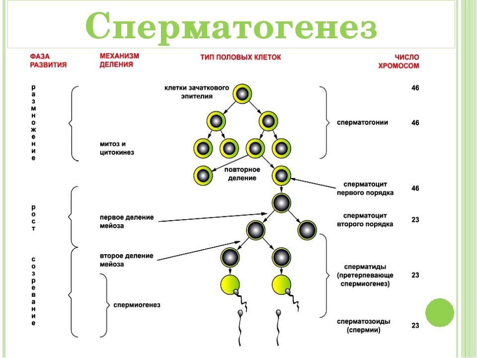 Сперматозоид: строение у человека, схема, функции, форма, каковы особенности?