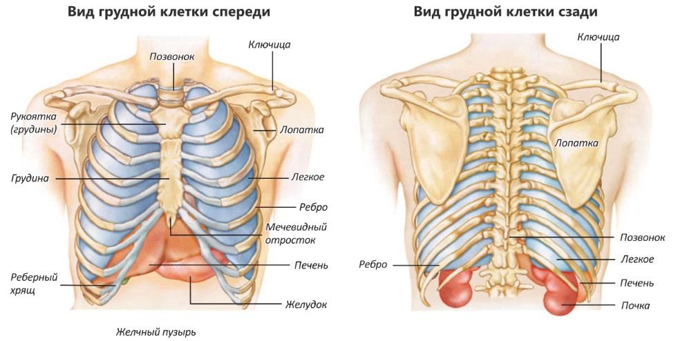 Анатомия ключицы человека - информация:
