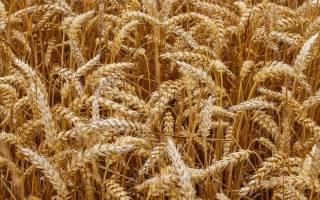 Пшеница фуражная: что это такое, одно и то же с кормовой или нет, выращивание и применение зерна 5 сорта (класса)
