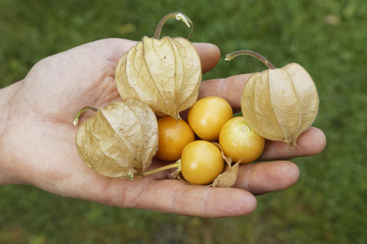 Физалис – посадка и уход в открытом грунте. выращивание физалиса из семян. описание, виды. фото