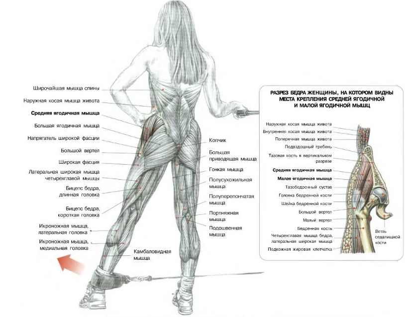 Анатомия ягодичных мышц: первый шаг к идеальным ягодицам