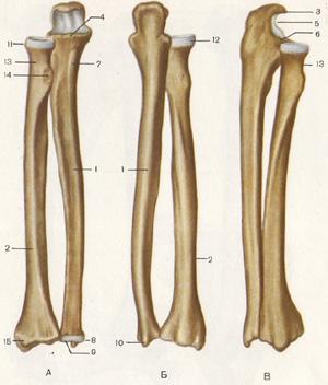 Предплечье где находится у человека анатомия - лечение суставов
