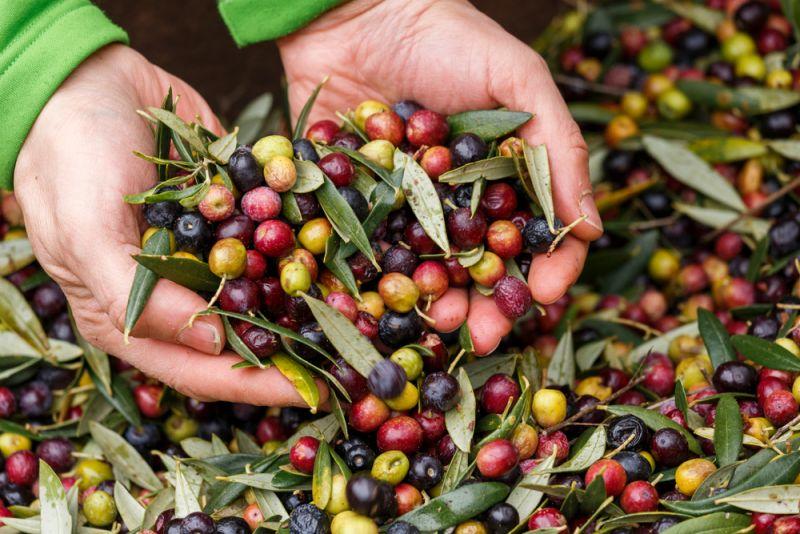 Маслины и оливки – основные отличия, польза и вред