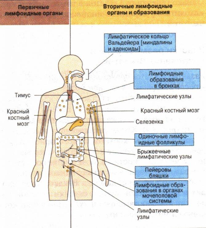 Что такое иммунитет назовите его основные виды кратко охарактеризуйте каждый из видов