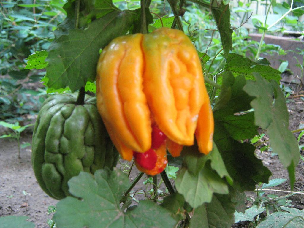 Момордика: выращивание и уход - подробная информация!