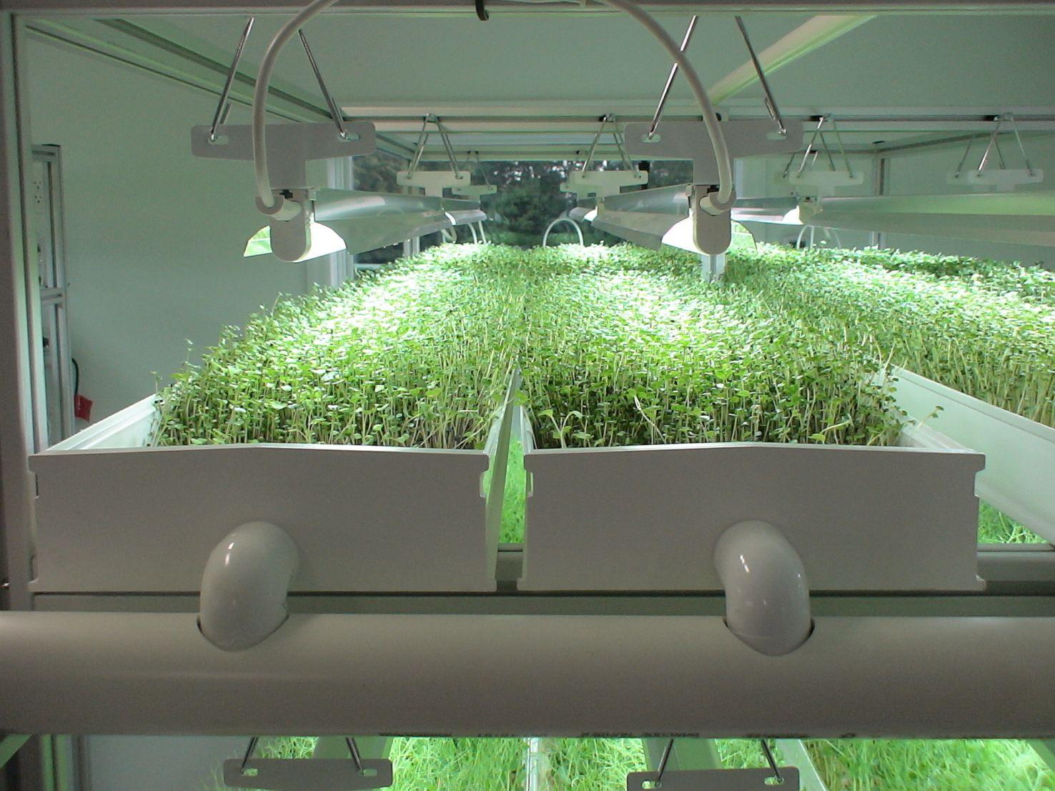 Интересные факты о микрозелени и правила ее выращивания дома