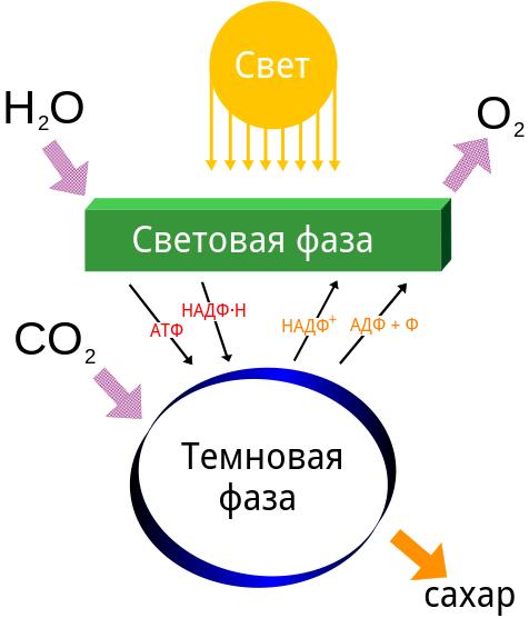 Что такое фотосинтез и почему он так важен для нашей планеты