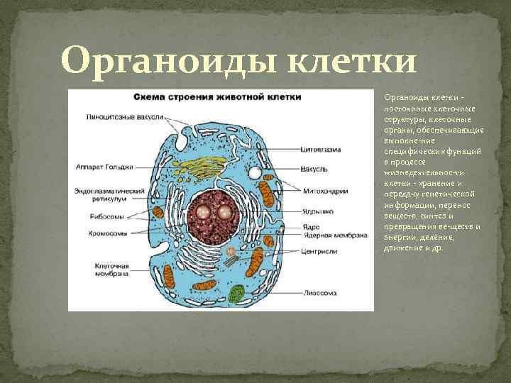 Строение клетки. взаимосвязь строения и функций частей и органоидов клетки – основа ее целостности