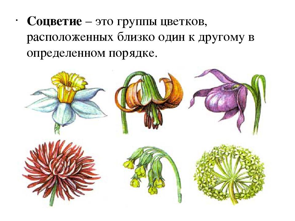 Cоцветие что такое, типы и виды, соцветие колос, корзинка, кисть, щиток, головка, таблица простых и сложных соцветий в биологии, биологическое значение | tvercult.ru