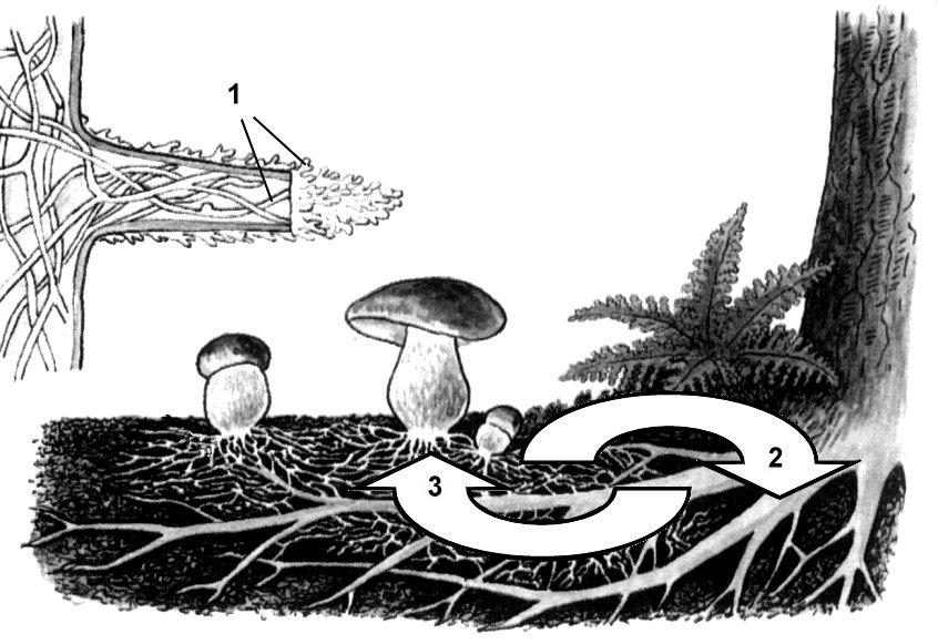 Гриб мукор, или белая плесень: особенности строения, размножения и питания : labuda.blog гриб мукор, или белая плесень: особенности строения, размножения и питания — «лабуда» информационно-развлекательный интернет журнал