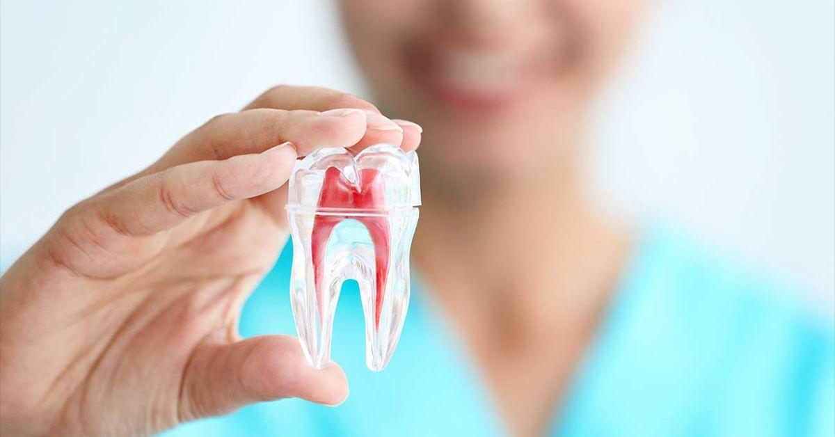 Строение и функции пульпы зуба