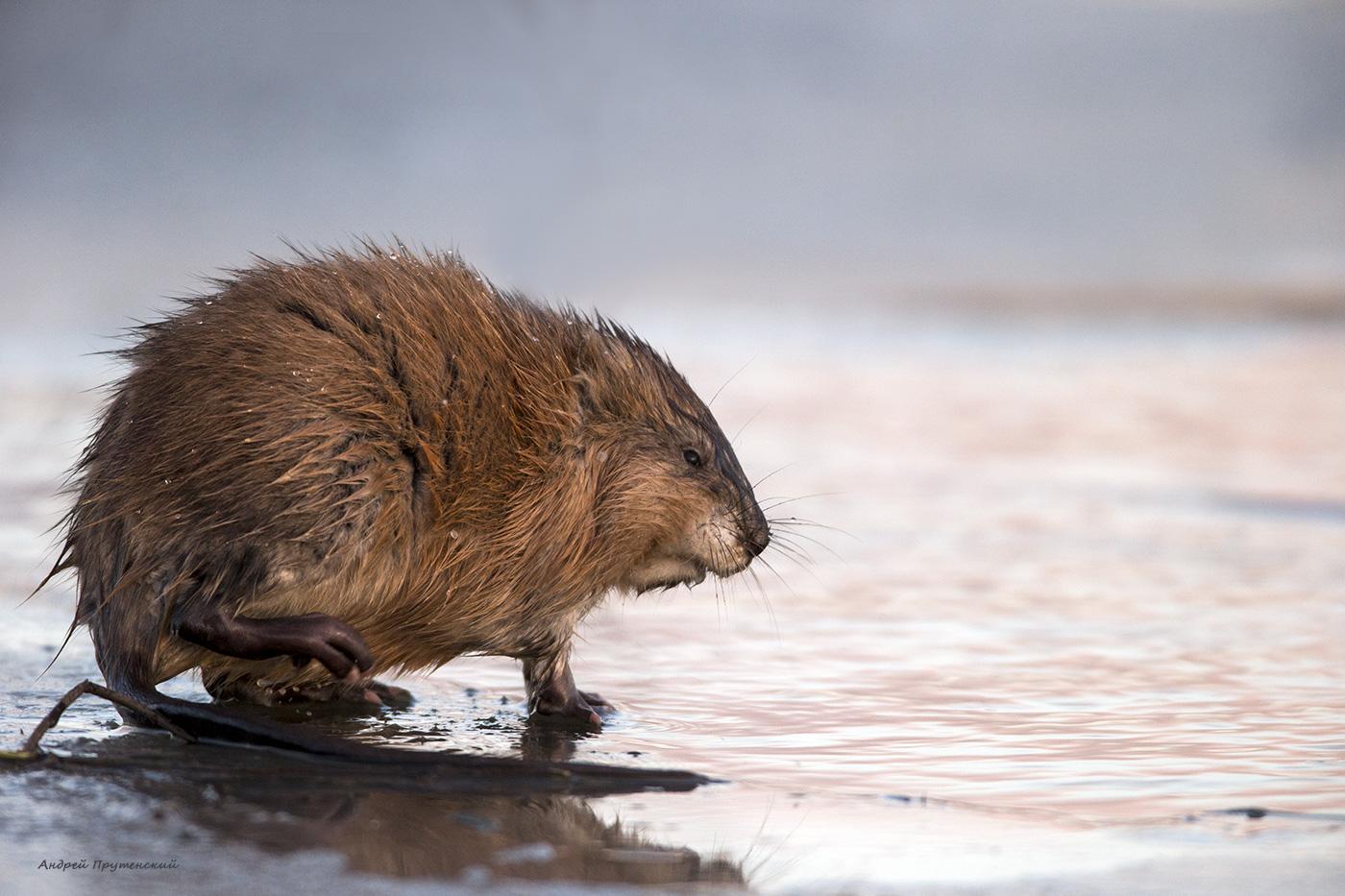 Ондатра животное. описание, среда обитания и особенности ондатры