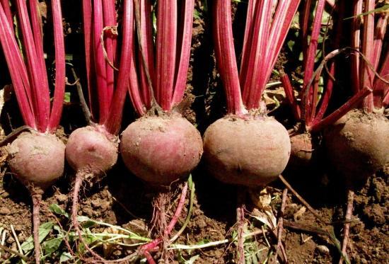 Обзор популярных видов корнеплодов: описания и фото