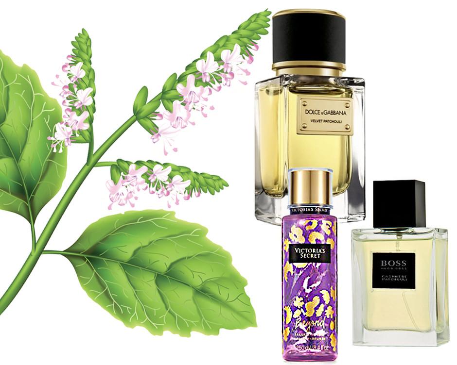 Пачули — применения листьев в медицине и парфюмерии