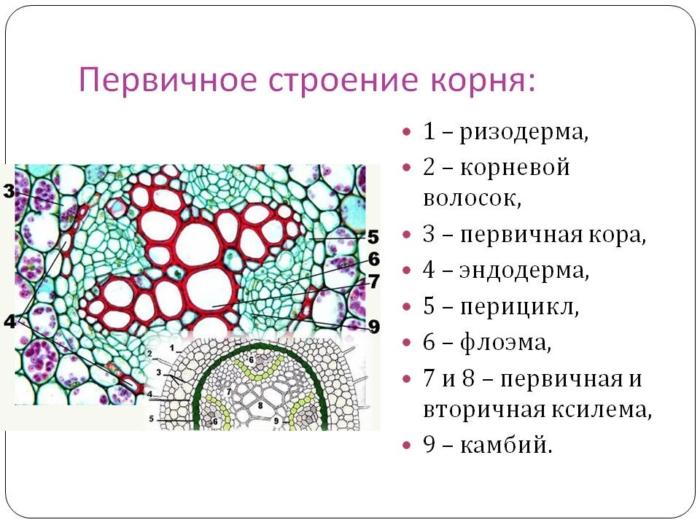 Специфические особенности строения и функция корневого чехлика у растений