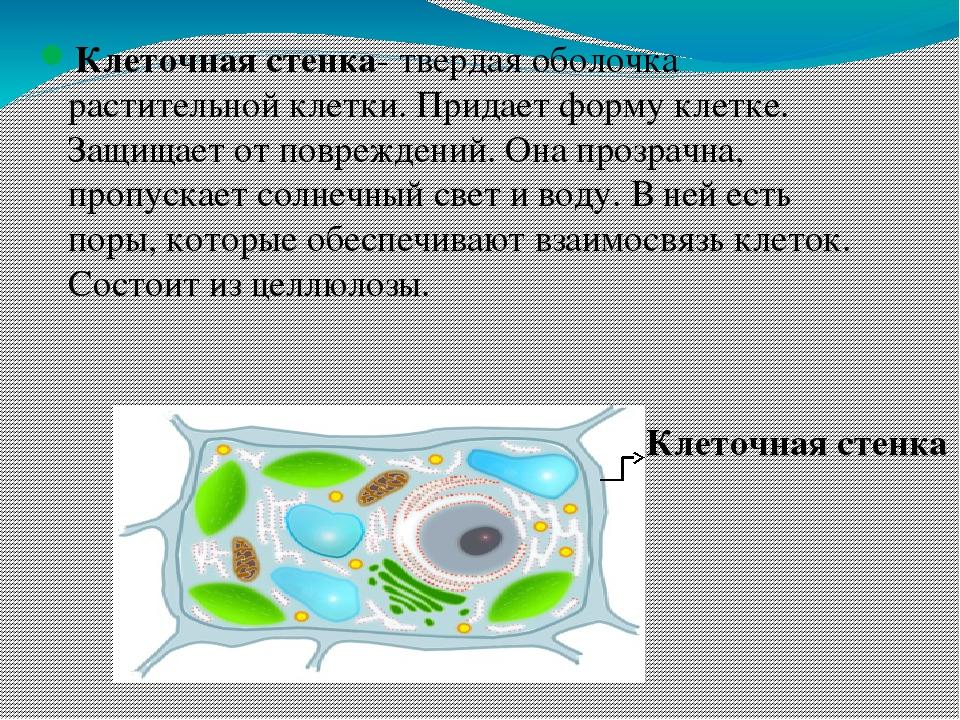 Клетка (в биологии)