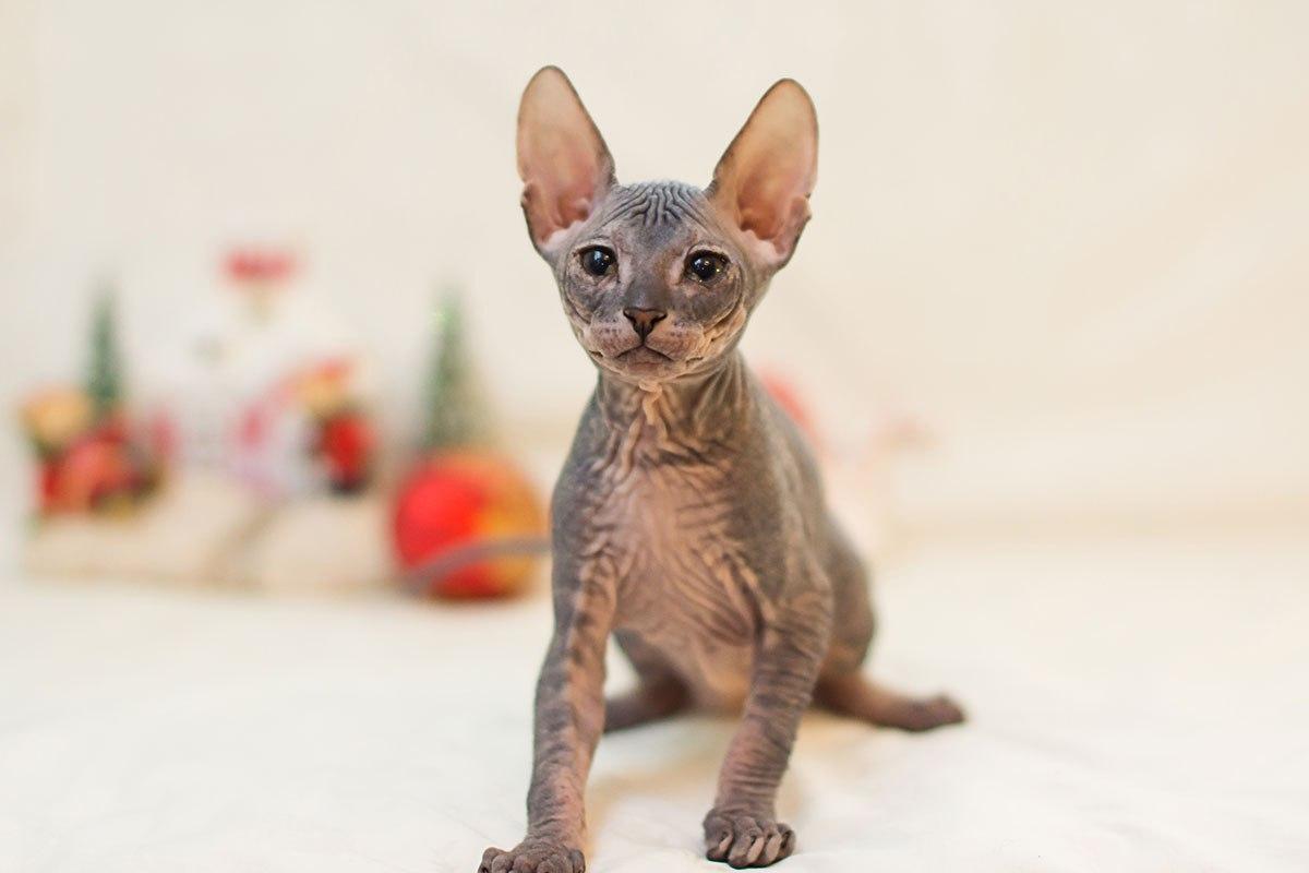 Как вывели породу кошек сфинкс