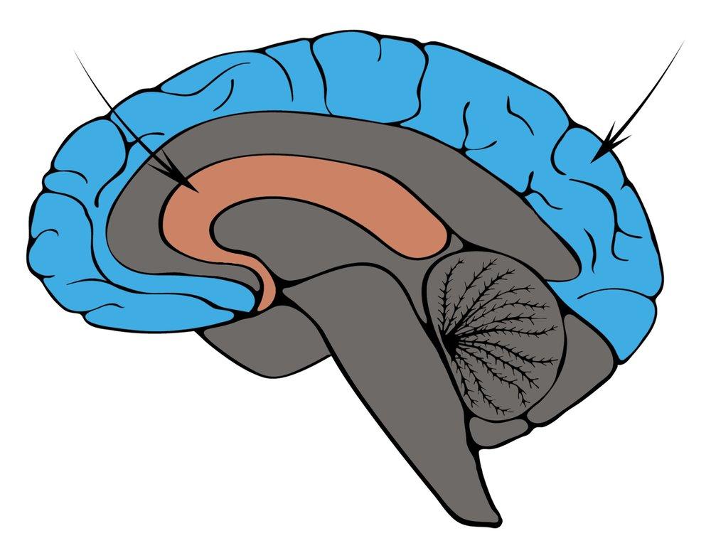 Неокортекс – рациональный мозг / бессознательный брендинг. использование в маркетинге новейших достижений нейробиологии / библиотека (книги, учебники и журналы) / в помощь веб-мастеру