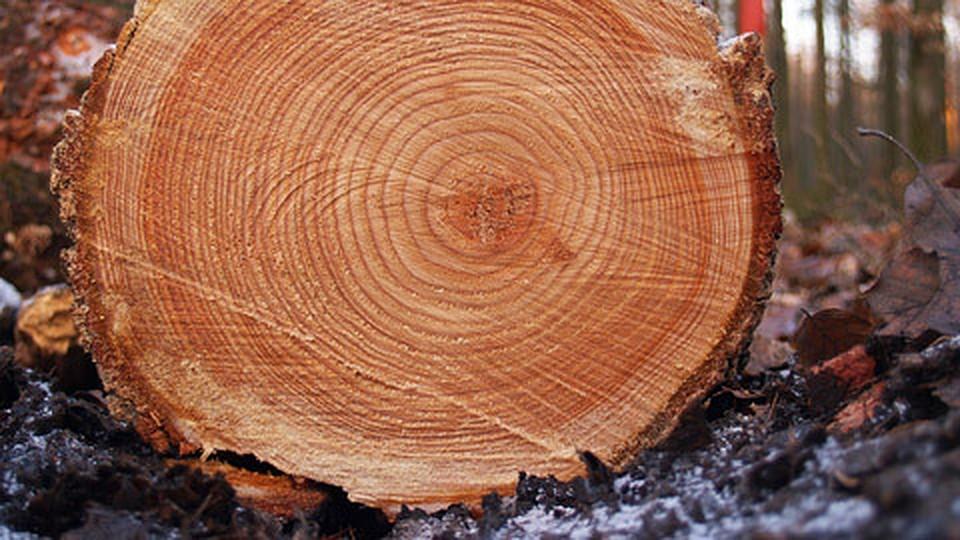 Строение дерева. от клеток до корней