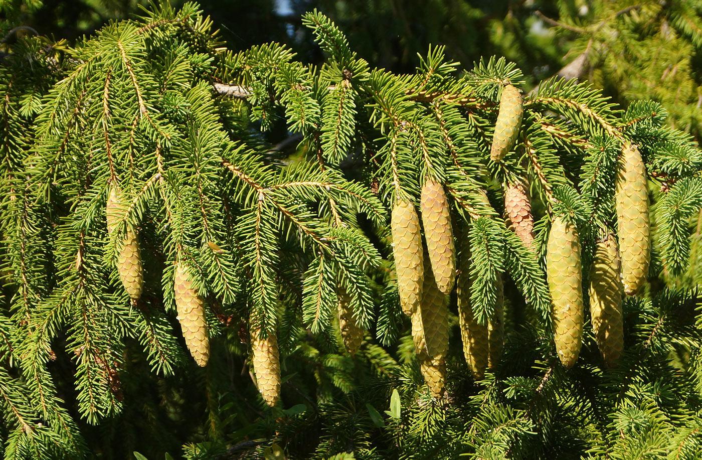 Ель - что это? дерево ель. хвойные деревья (фото)