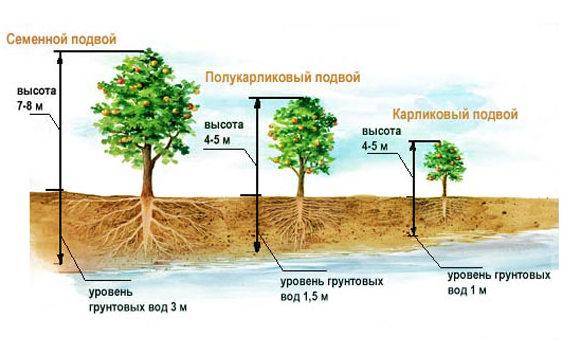 Подвой для яблони – описание и характеристики видов
