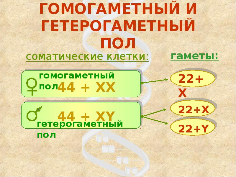 Лекция № 19. генетика пола