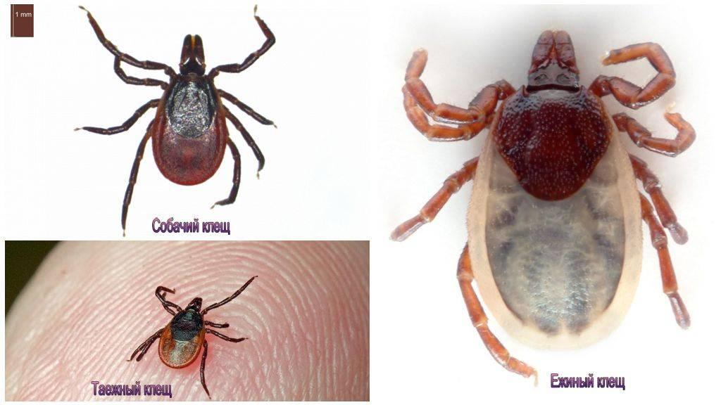 ❶ клещи - животное или насекомое? какова их роль а природе?
