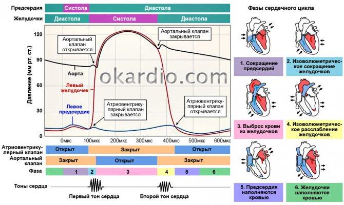 Работа сердца и сосудов. систола и диастола в строении сердца.