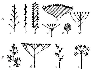 Соцветие – таблица, что такое соцветие в биологии (6 класс)