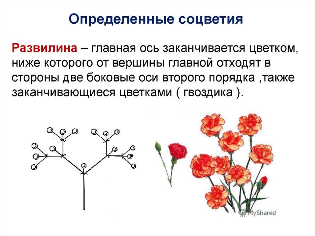 Cоцветие что такое, типы и виды, соцветие колос, корзинка, кисть, щиток, головка, таблица простых и сложных соцветий в биологии, биологическое значение