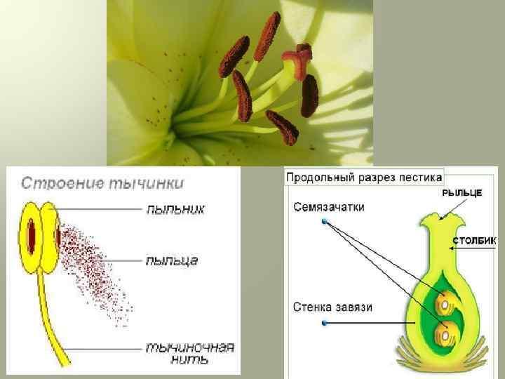 Пестик — википедия переиздание // wiki 2