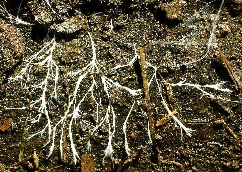 Мицелий (грибница) грибов: что это такое, как сделать