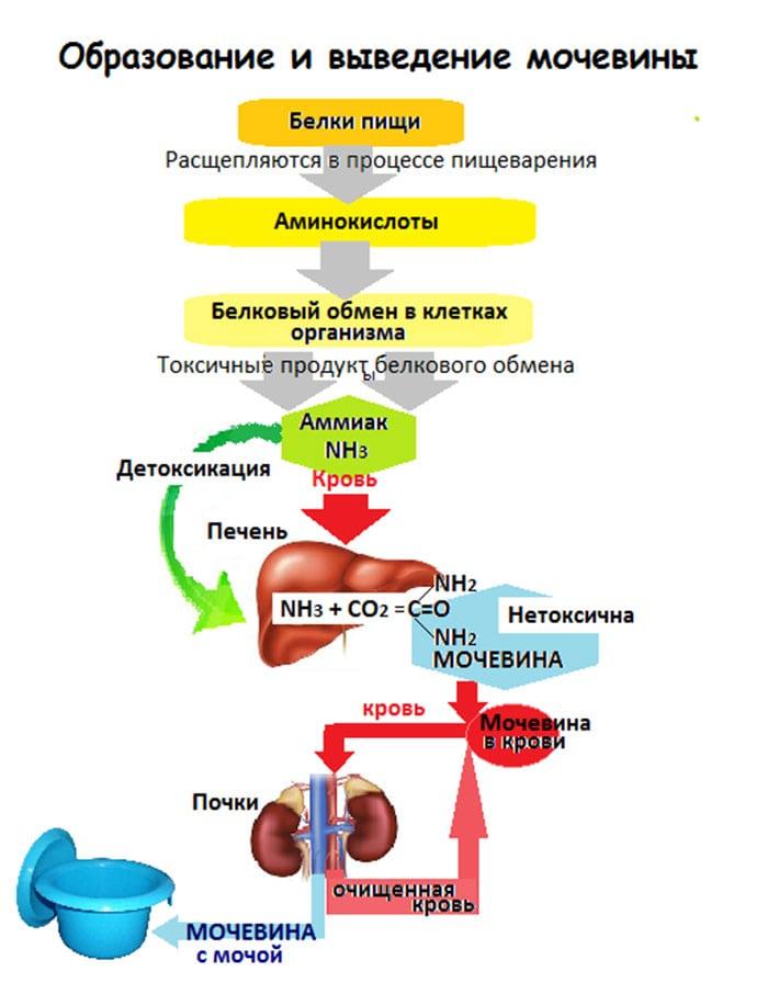 Норма и причины пониженного уровня мочевины в крови