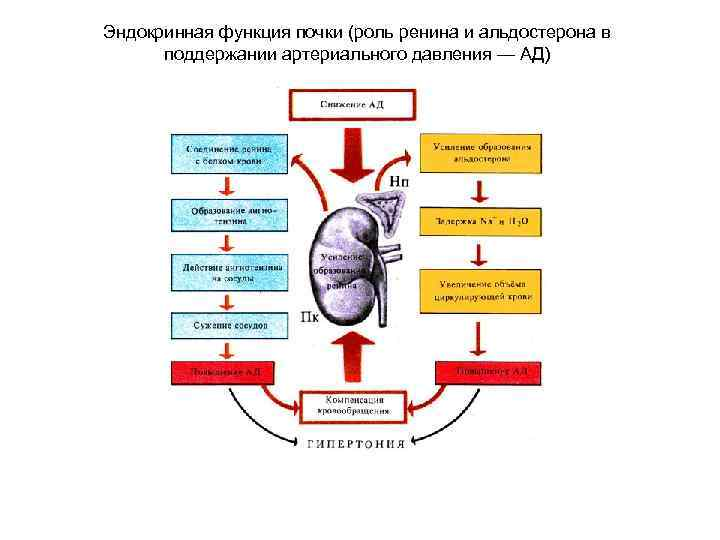 Альдостерон - минералокортикоид, регулирующий водно-солевой обмен — 600  р. – цэлт