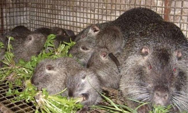 Нутрии (болотный бобер): как выглядят основные виды и чем особенен грызун (95 фото)
