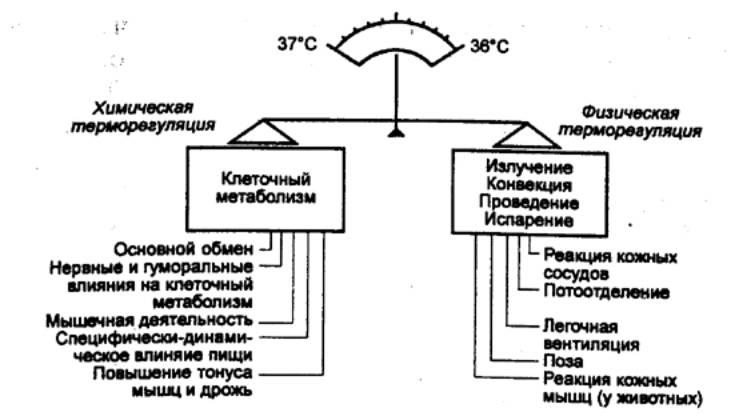 Терморегуляция - это... терморегуляция и обмен веществ