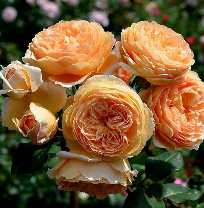 Розы шрабы: что это такое, отличительные черты и сорта