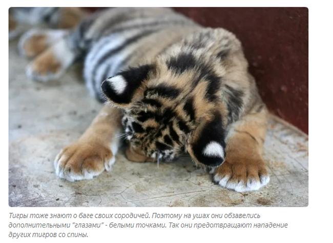 Тигр – полосатый хищник