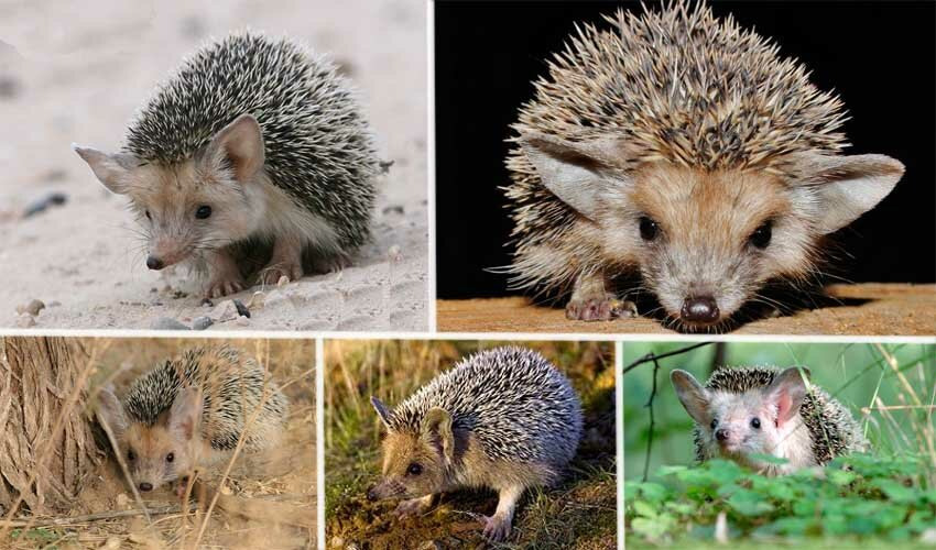 Обыкновенный еж. полное описание, образ жизни, ареал обитания, размножение, польза для человека   все о животных