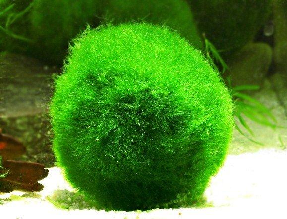 Строение спирогиры - типичного представителя отдела зеленые водоросли