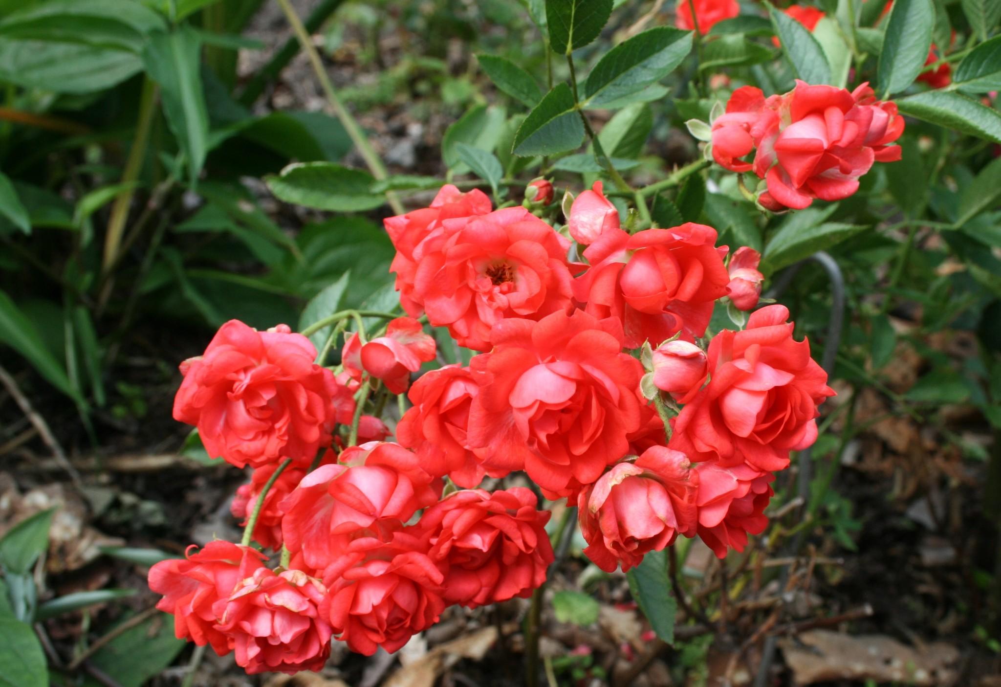 Полиантовые розы: что это такое и как выращивать