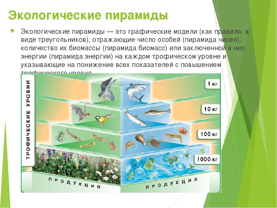 Экологическая пирамида: правило построения, примеры и значение