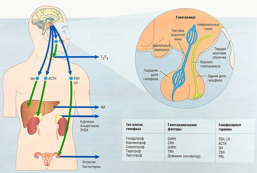 Гормон альдостерон: функции в организме, нормы, анализы, лечение нарушений