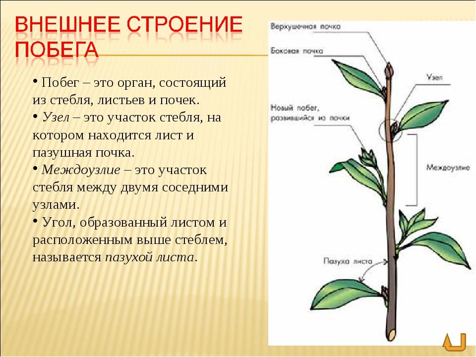 Размер почки дерева
