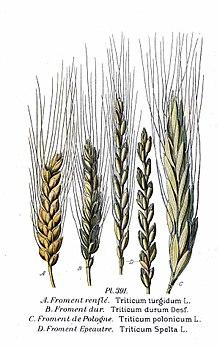 Классы пшеницы: особенности 3, 4 и 5 классов, таблица с показателями и классификация продукта, как определить качество зерна по клейковине