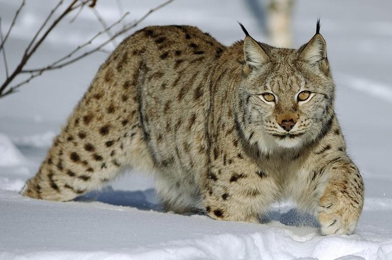 Рысь - самый северный из видов кошачьих. животное рысь - кошка величиной с крупную собаку. фото рыси. фото рысят.