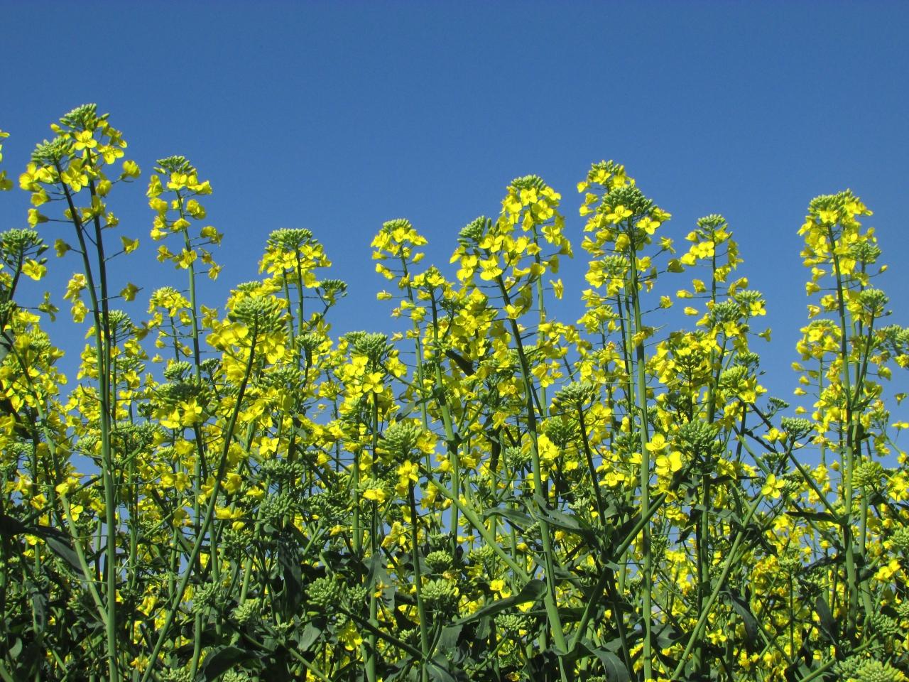 Яровой рапс: сорта, выращивание и применение