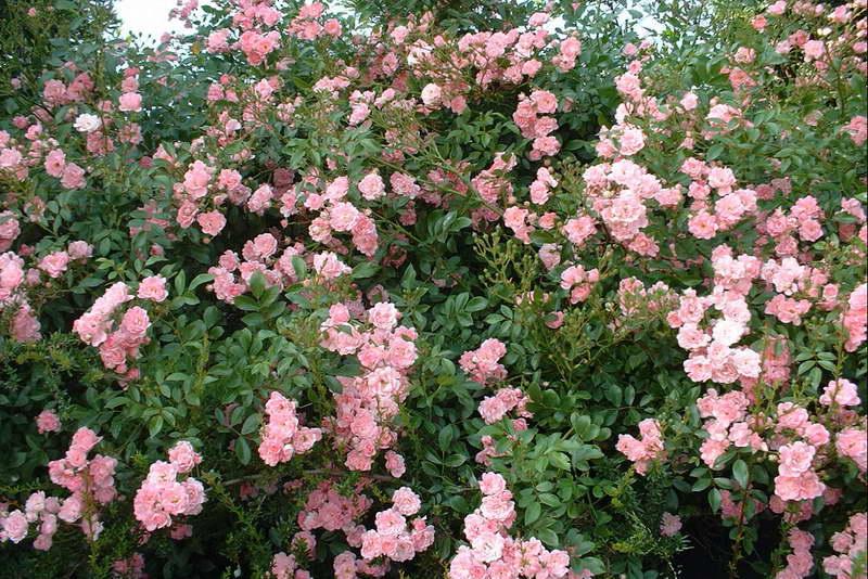 Что же это такое - полиантовая роза, ее преимущества и недостатки, как за ней ухаживать