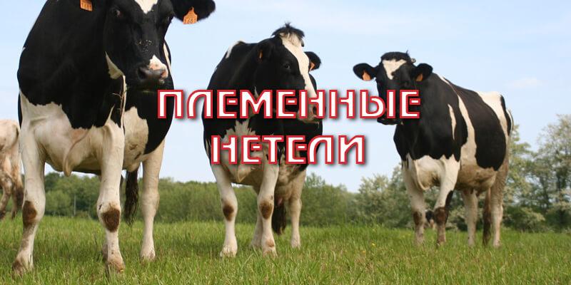 Нетелей, что это, чем отличается телка от коровы?